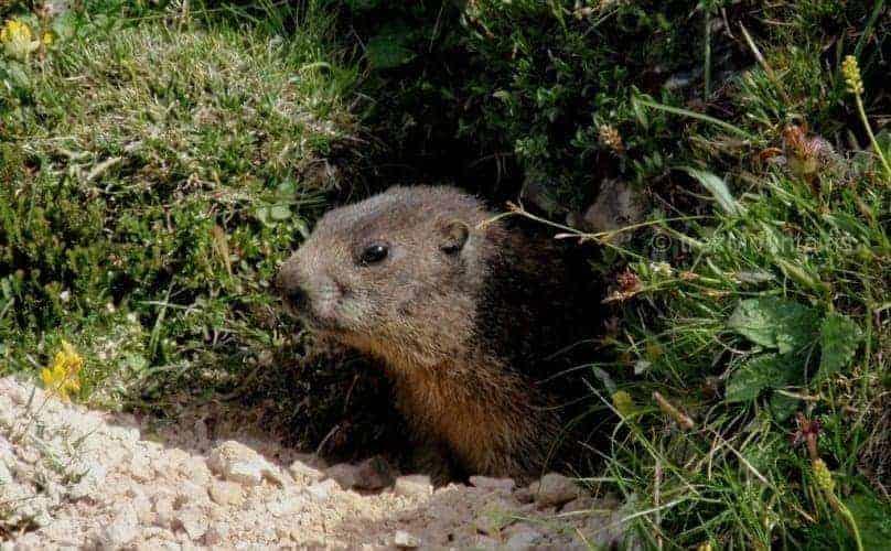 Marmot Tre Cime Trek Dolomites (c) Ann Foulkes trekMountains